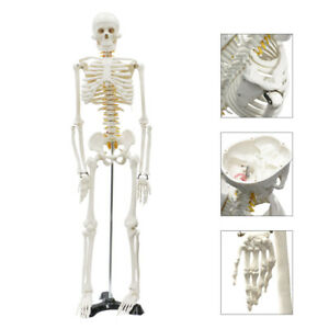 Life Size Medical Anatomical Human Skeleton Model Rolling Stand 85cm 33 5 Tall