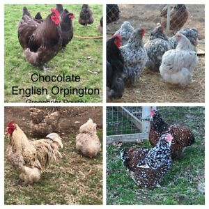 Variety Pack English Orpington 12 Hatching Chicken Eggs Greenbrier Poultry Npip