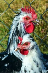 6 Crested French Dampierre Chicken Hatching Eggs Npip Greenfire Rare Breed