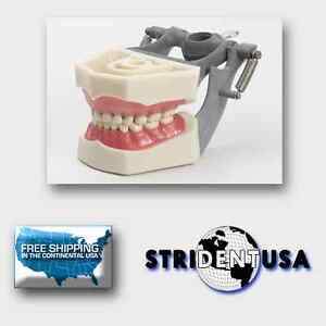 Dental Typodont Pediatric Model Model With Removable Ivorine Teeth