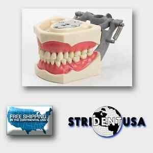 Dental Typodont Model 860 Teaching Model Fits Columbia Brand Removable Teeth