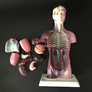 26cm Human Unisex Torso Anatomical Model Medical Skeleton Anatomy