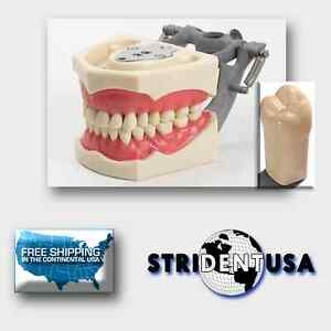 Dental Typodont 860 Plus Bonus 5 Teeth molars Fits Columbia Brand Teeth