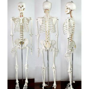 Life Size Human Skeleton Anatomical Teaching Model Full Body New