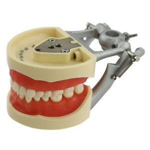 Kilgore Nissin 200 Compatible Dental Typodont Teeth Model Removable Tooth 8012