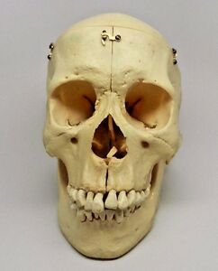 Real Size Human Skull Model Replica Kilgore Medical Dental Vintage In Case