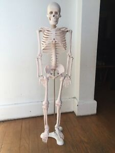 Life Size Half Human Anatomical Anatomy Skeleton Medical Model 34 Inch Stand
