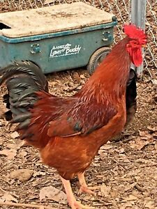 12 Large Breed Chicken Hatching Egg 1 Dozen Barnyard Mix Fertile Free Ship