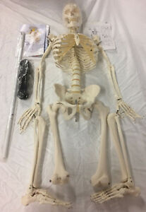 3b Scientific Skeleton Life Size Anatomy Model 1020171 a10 Brand New No Base