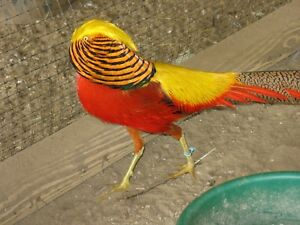 6 Red golden Pheasant Hatching Eggs