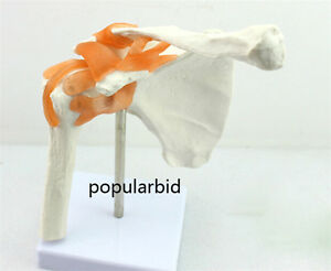 Shoulder Joint Clavicle Human Anatomical Medical Teach Model Flexible With Stand