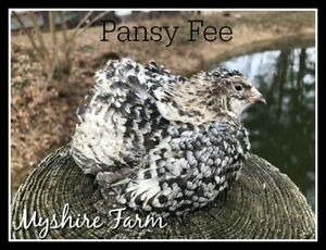 50 Rare Myshire Farm Coturnix Quail Hatching Eggs 6 Different Rare Colors