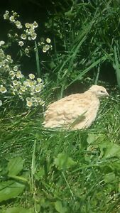 110 Ct Coturnix Hatching Eggs From Myshire Farm