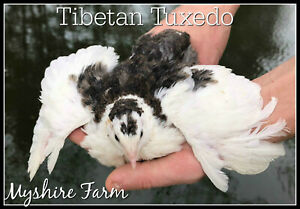 50 Tibetan Corurnix Hatching Eggs By Myshire Farm Will Include Tuxedo Variety