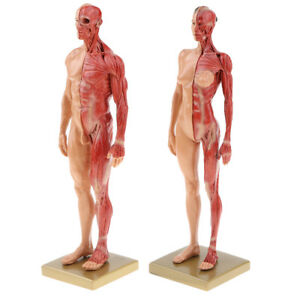 2 Human Anatomy Figure Superficial Muscle Anatomy Model Lab Decor Skin Color