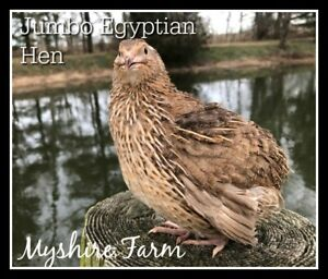 50 Myshire Coturnix Quail Hatching Eggs Egyptian Coloration Aka Roux Pharoah