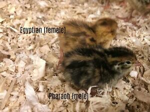 25 Sex Link Coturnix Quail Hatching Eggs By Myshire Know Your Hens From Day 1