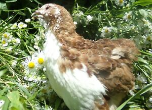 50 Scarlet range Coturnix Quail Hatching Eggs By Myshire Includes Tuxedo