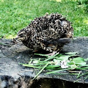 110 Rare Pansy Coturnix Hatching Eggs By Myshire Perfect To Add Amazing Colors