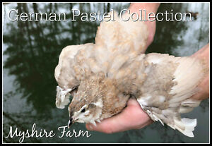 25 German Pastel Collection Coturnix Hatching Eggs By Myshire Many Varieties