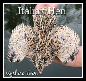 220 Gold Coturnix Hatching Eggs By Myshire Includes Italian golden Manchurian