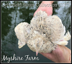 110 ssc silver Coturnix Quail Hatching Eggs By Myshire So Many Varieties