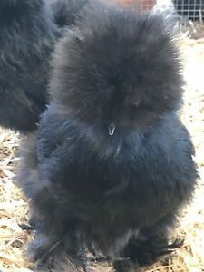 8 Bearded Silkie Hatching Eggs Assorted Colors npip