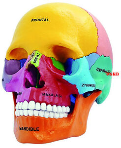 New 1 2 4d Puzzle Didactic Exploded Beauchene Skull Color Human Anatomy 3d Model