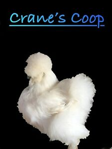 npip 6 Bearded Silkie Hatching Eggs Show Quality Lines
