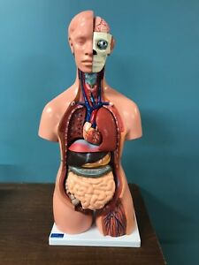 Human Anatomy Body Model Kit Large 4d Cornerstone Medical Learning Science