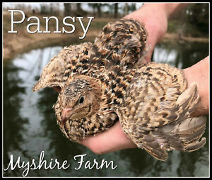 50 Rare Pansy Coturnix Quail Hatching Eggs by Myshire This Is A Must Have