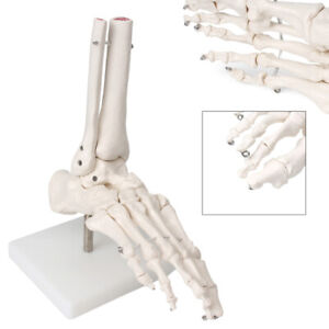Life Size Foot Joint Ankle Anatomical Skeleton Model Medical Anatomy Education