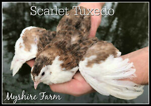 50 Scarlet range Coturnix Quail Hatching Eggs By Myshire Farm Includes Tuxedo