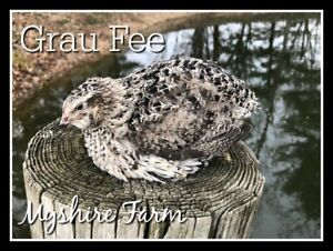 25 Rare Grau Fee Coturnix Quail Hatching Eggs By Myshire Are Feather Sexable