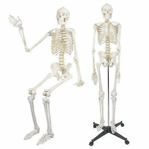 Medical Anatomical Human Skeleton Model 70 8 Life Size rolling Stand Included
