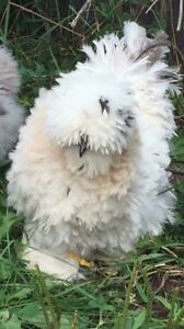 12 Silkie frizzle Satin showgirl Hatch Eggs Npip Usps Priority Special Handling