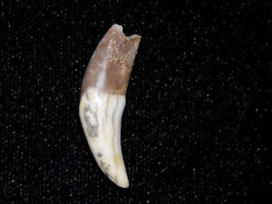 Authentic Pre Columbian Canine Tooth Pendant Bead Costa Rica