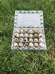 100 Quail Egg Cartons 24 Count Plastic From Myshire Farm this Holds Jumbo Eggs