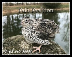 110 rare Falb Fee Coturnix Quail Hatching Eggs By Myshire Are Feather Sexable