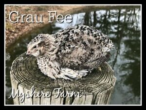 50 Rare Grau Fee Coturnix Quail Hatching Eggs By Myshire The Newest Color