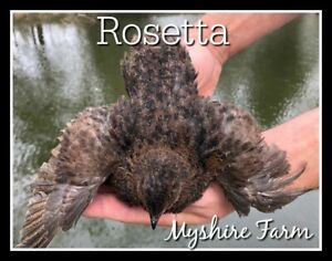 50 Rosetta Corurnix Hatching Eggs By Myshire Farm Will Include Tuxedo Variety