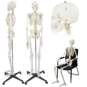 Medical Anatomical Human Skeleton Model With Rolling Stand 180cm 70 8 Life Size