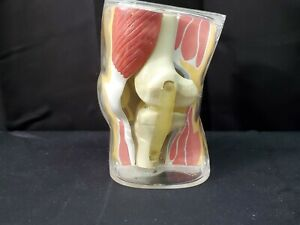 Vintage 1962 Anatomical Knee Joint Model Merck Co Dr Office Medical Display