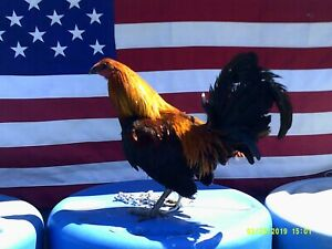9 Lc Pure Brown Red Poultry Chicken Hatching Eggs