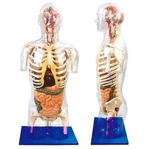 Medical Anatomy Transparent Torso human Body With Internal Organs Model