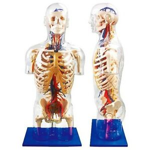 Human Body transparent Torso With Main Neural And Vascular Structures Model