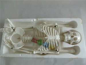 85cm Human Anatomical Anatomy Skeleton Medical Model With Stand Flexible