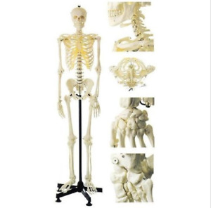 Medical Artificial Human Skeleton Model Life Size Female Study Teaching Model