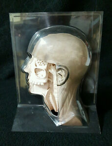 Vintage Head Anatomical Model Pharmaceutical