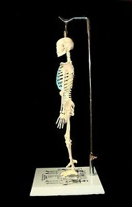 New 21 Inch Tall Human Skeleton Model For Learning Teaching Anatomy Anatomical